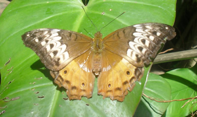 A pretty butterfly with red, white, and brown coloring, sitting on a large leaf